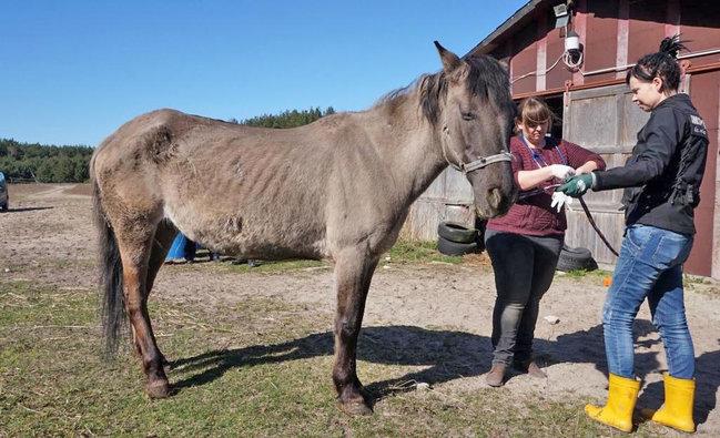 Skrajnie zaniedbane konie i pies odebrane właścicielce z Małych Rud pod Szubinem