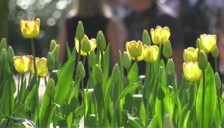 Miliony tulipanów, żonkili i hiacyntów zakwitły w jednym miejscu. Widowiskowy festiwal kwiatów w Holandii
