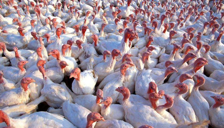 Drugie ognisko ptasiej grypy w kujawsko – pomorskiem wykryte w powiecie inowrocławskim