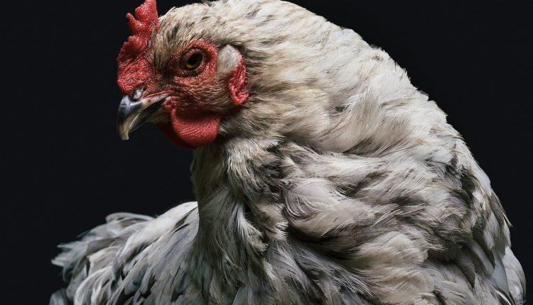 Gminy Rogowo, Janowiec Wielkopolski i Gąsawa w strefie zagrożenia ptasią grypą